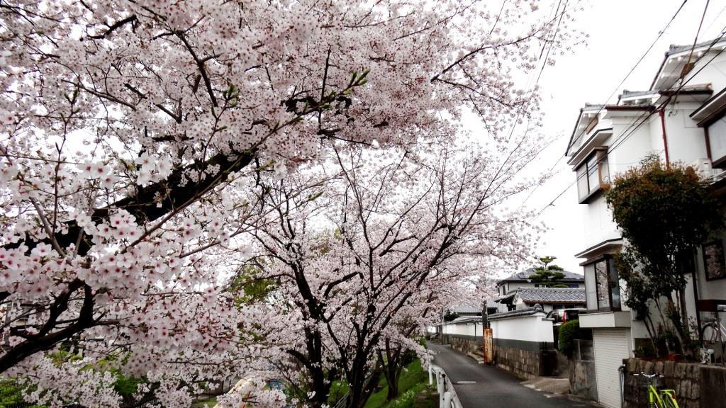 長円寺 桜2016
