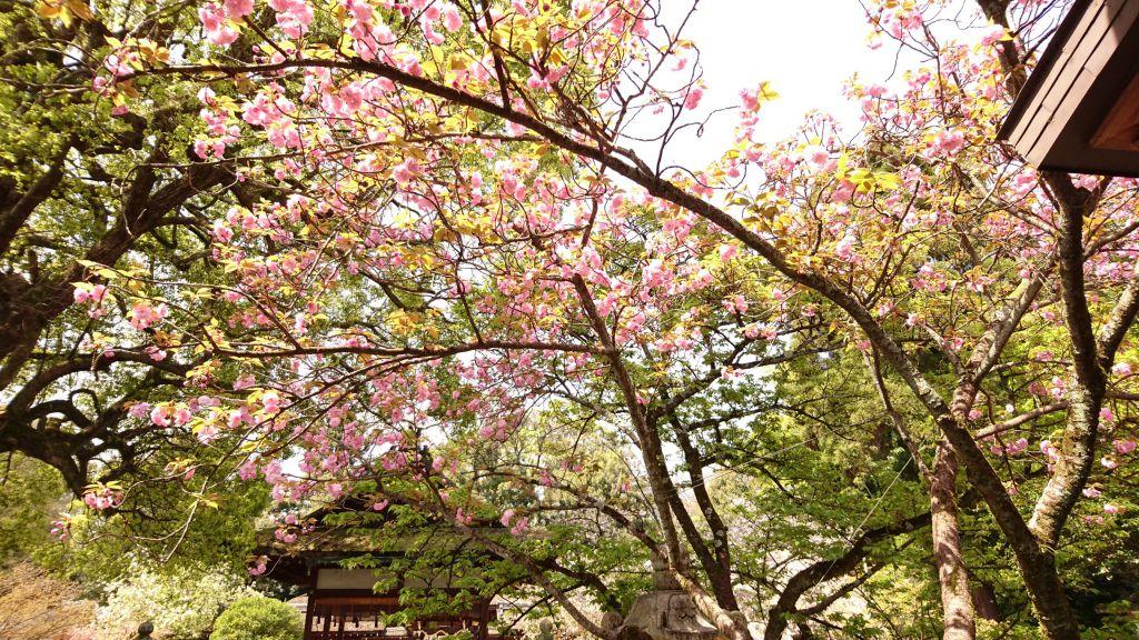 平野神社2016