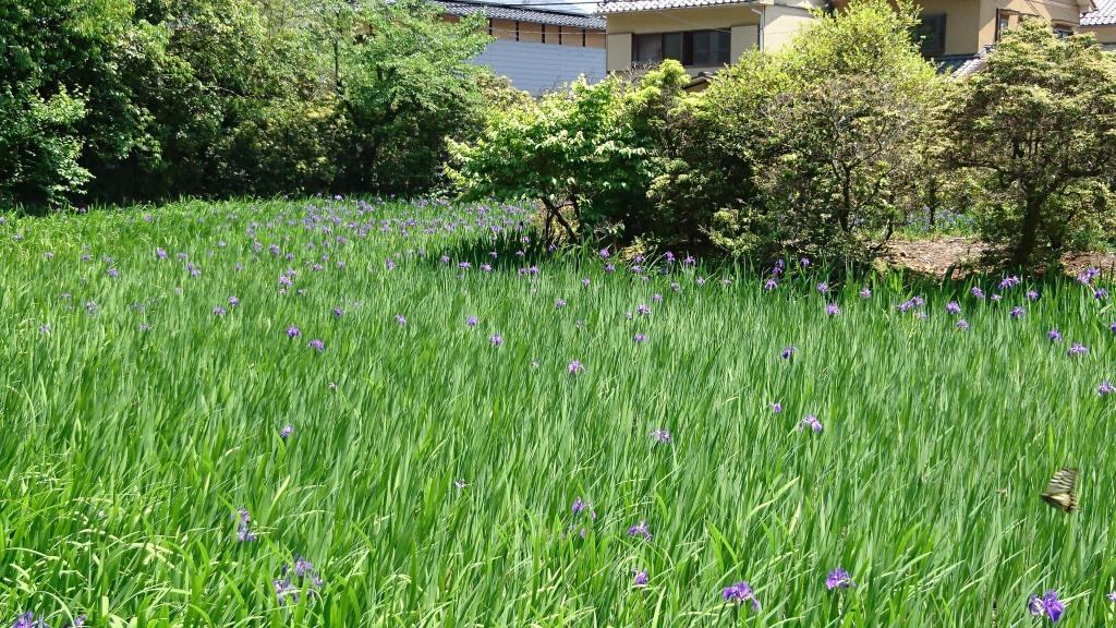 大田神社 カキツバタ