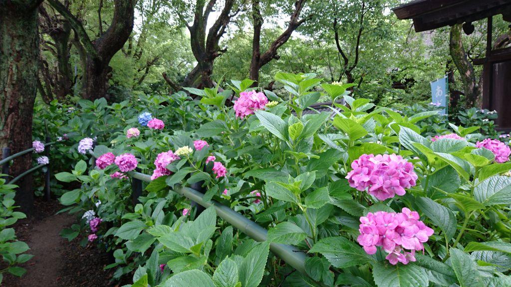 藤森神社 紫陽花苑
