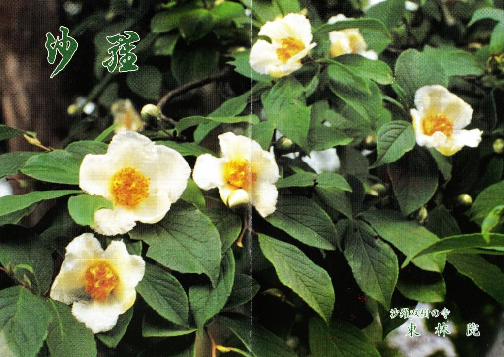 妙心寺塔頭 東林院 沙羅の花