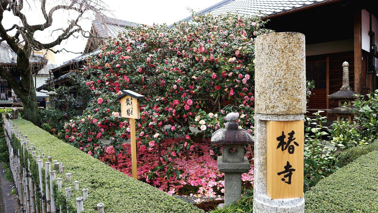 散椿 地蔵院