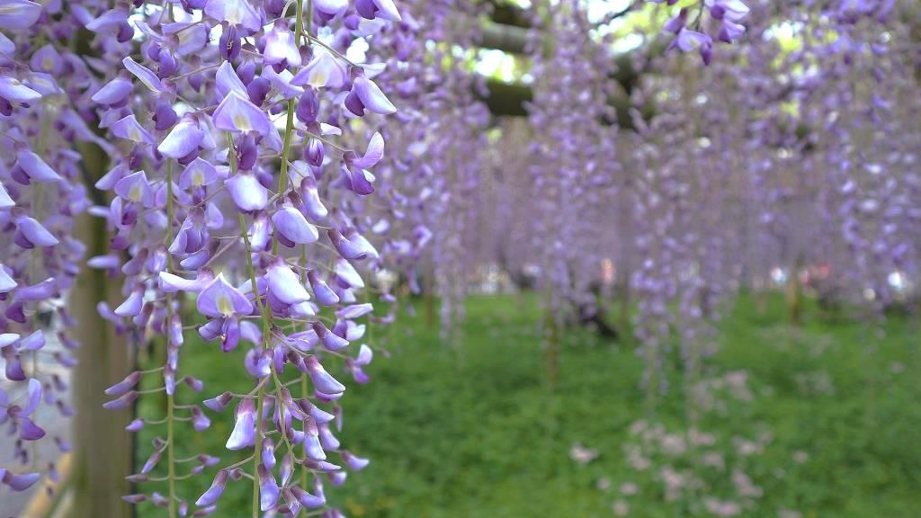 平等院 藤の花