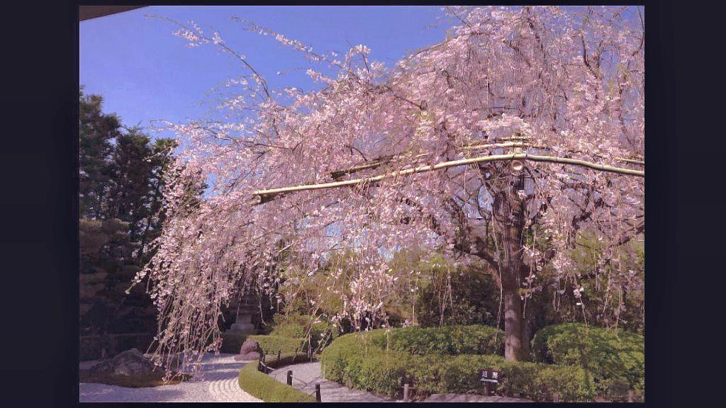 妙心寺塔頭 退蔵院 紅しだれ桜